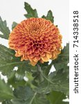 Small photo of Chrysanthemum Indicum Grp disbud Paladov Dark