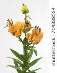 Small photo of Lilium Longiflorum x Asiatic Grp Apricot Fudge