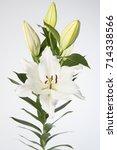 lilium oriental grp sisto | Shutterstock . vector #714338566