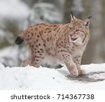 the lady lynx | Shutterstock . vector #714367738