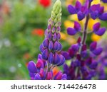 blooming lupin  lupine  lupinus ... | Shutterstock . vector #714426478