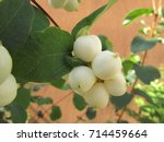 Fruits Of Common Snowberry ...