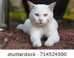 A White Cat Odd Eyes  Yellow...