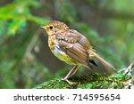 european robin   erithacus... | Shutterstock . vector #714595654