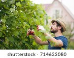 Small photo of Man wearing gloves and straw hat prune grape brunch with secateur, work on a family farm