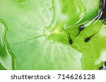 the tadpole on the lotus flower ... | Shutterstock . vector #714626128