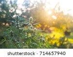 medical cannabis sativa growing ... | Shutterstock . vector #714657940