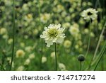 Small photo of Beautiful yellow flower of blossoming cephalaria close-up