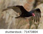 Male Turkey Vulture Flying...