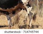 a small nguni calf suckling... | Shutterstock . vector #714745744