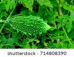 bitter melon or bitter gourd... | Shutterstock . vector #714808390