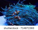 sea anemone and anemone fish | Shutterstock . vector #714872383