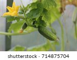 unripe small cucumber with... | Shutterstock . vector #714875704
