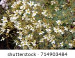Small photo of Alpinepink wild flowers, androsace alpina , in Dolomites mountain at Puez odle natural park in Sud Tyrol, Alto Adige, Italy