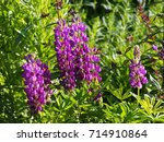 blooming lupin  lupine  lupinus ... | Shutterstock . vector #714910864