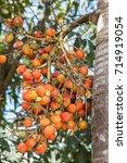 Small photo of Betel Nut or Areca Nut Palm on Tree