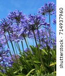Small photo of The bright blue flowers of Agapanthus, also known as African Lily or Lily of the Nile against a background of blue sky.