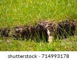 prairie dog standing on hind... | Shutterstock . vector #714993178