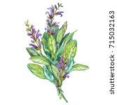 botanical drawing of a sage.... | Shutterstock . vector #715032163