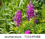 blooming lupin  lupine  lupinus ... | Shutterstock . vector #715149388