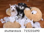 Stock photo bad naughty schnauzer dogs destroyed plush toy at home 715231690