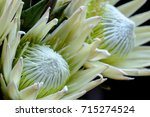 Protea Barbigera