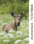 Small photo of Young Male Moose (Alces alces)