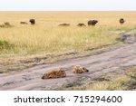sleeping hyena in dirt road... | Shutterstock . vector #715294600