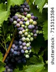 large bunch of red wine grapes... | Shutterstock . vector #715313584