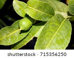 lamon tree  lamon flower  lemon ... | Shutterstock . vector #715356250