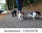 Stock photo dog walker with dogs enjoying in park selective focus on dog in middle 715415578
