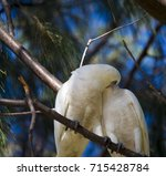 Small photo of Some cheeky comical white Australian corellas are perched in a casuarina sheoak tree on a cloudy morning in autumn smooching and eating the tasty dry sheoak nuts on the end of the little branches.