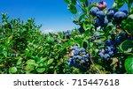 blueberries farm in harvest... | Shutterstock . vector #715447618