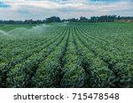 a field of brussels sprouts... | Shutterstock . vector #715478548