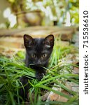 Stock photo cute little black kitten sitting and playing in the yard with yellow eyes and big ears 715536610