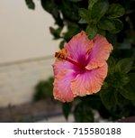 orange suffused with carmine...   Shutterstock . vector #715580188