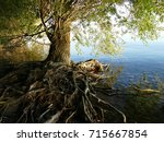 Old Tree With Roots Above The...