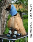 Small photo of Afghan hound in a hat and shoes