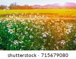 little daisy flowers in the... | Shutterstock . vector #715679080