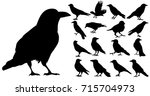 isolated silhouette of crows ... | Shutterstock . vector #715704973
