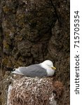 common gull  larus canus  faroe ... | Shutterstock . vector #715705354
