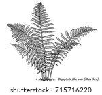 male fern illustration  drawing ... | Shutterstock .eps vector #715716220