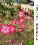 Small photo of Adenium obesum
