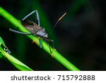 Small photo of Male black Leaf Footed Bug, squash bug, clown bug, tip-wilter (Arthropoda: Insecta: Hemiptera: Coreidae: Acanthocephala terminalis) with antenna crawling on a green stem isolated with dark background