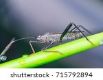 Small photo of left view, Male black Leaf Footed Bug, squash bug, clown bug, tip-wilter (Arthropoda: Insecta: Hemiptera: Coreidae: Acanthocephala terminalis) with orange black antenna crawling on a green stem