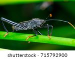 Small photo of Right side of Male black Leaf Footed Bug, squash bug, clown bug, tip-wilter (Arthropoda: Insecta: Hemiptera: Coreidae: Acanthocephala terminalis) with orange black antenna crawling on a green stem
