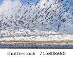 red legged kittiwake  rissa... | Shutterstock . vector #715808680