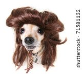 small chihuahua in a funny wig costume - stock photo