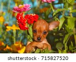 Stock photo a red haired puppy holds a bouquet of bright beautiful flowers a small cute dog with raised ears 715827520