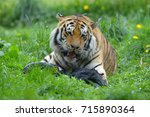 the siberian tiger  panthera... | Shutterstock . vector #715890364